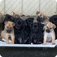 Adopt A Pet :: SHEP/LAB MIX - Gustine, CA