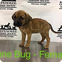 Adopt A Pet :: June Bug - Waycross, GA