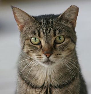 Domestic Shorthair Cat for adoption in North Fort Myers, Florida - Zoey