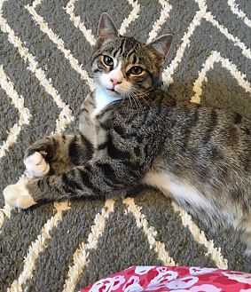 Domestic Shorthair Kitten for adoption in Butner, North Carolina - Pez