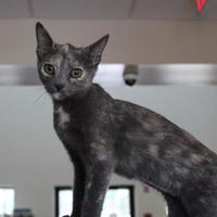 Adopt A Pet :: Chintz - Brunswick, GA