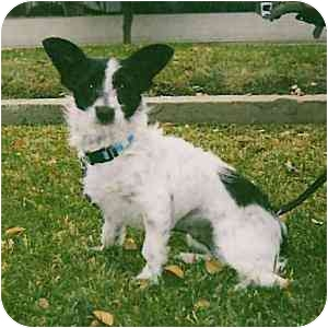 Terrier (Unknown Type, Small) Mix Dog for adoption in Redondo Beach, California - Lucy