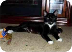 Domestic Shorthair Cat for adoption in Warren, Michigan - Ises! $75 Adoption Fee!