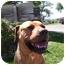 Photo 1 - American Staffordshire Terrier/Boxer Mix Dog for adoption in Sacramento, California - Julian