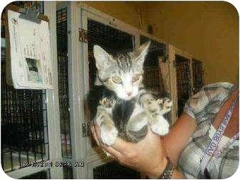 Domestic Shorthair Kitten for adoption in Yuba City, California - Bella