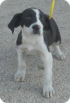 Labrador Retriever/Catahoula Leopard Dog Mix Puppy for adoption in Belvidere, Illinois - Tigger