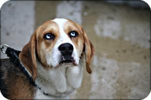 Beagle/Australian Shepherd Mix Dog for adoption in Anderson, Indiana - Gavin