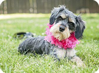Schnauzer (Standard)/Silky Terrier Mix Dog for adoption in Portsmouth, Rhode Island - Aurora-w/video!