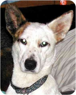 Border Collie Mix Dog for adoption in Rolling Hills Estates, California - Corey