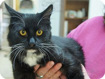 Domestic Mediumhair Kitten for adoption in Libby, Montana - Fluffball