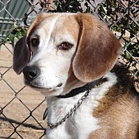 Beagle Dog for adoption in Apple Valley, California - Albert (Alby)- ADOPTION PENDING