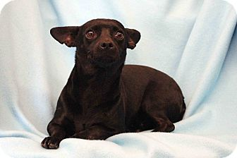 Chihuahua Mix Dog for adoption in Westminster, Colorado - Maybelle