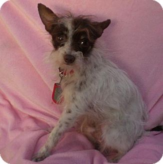 Yorkie, Yorkshire Terrier/Poodle (Miniature) Mix Dog for adoption in Long Beach, California - Watson