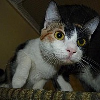 Calico Cat for adoption in Capshaw, Alabama - KESSIE