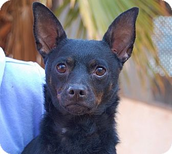 Miniature Pinscher/Chihuahua Mix Dog for adoption in Las Vegas, Nevada - Oscar