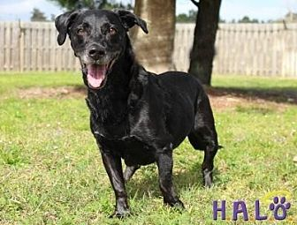 Basset Hound/Labrador Retriever Mix Dog for adoption in Sebastian, Florida - Lily