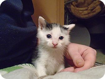 Domestic Shorthair Kitten for adoption in Chicago, Illinois - Bandit