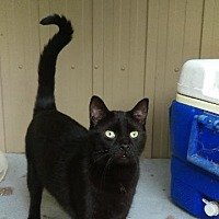 Domestic Shorthair Cat for adoption in Brainardsville, New York - Cocoa