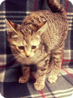 Domestic Shorthair Kitten for adoption in Watauga, Texas - D.C.
