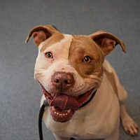 Pit Bull Terrier Mix Dog for adoption in Bay Shore, New York - Annabelle