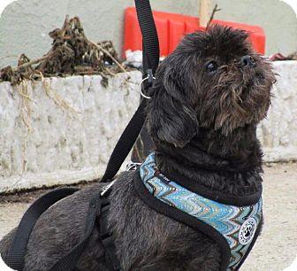 Shih Tzu Dog for adoption in Freeport, New York - Liberty