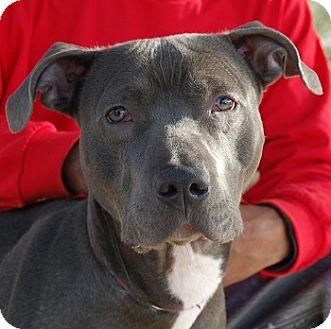 American Staffordshire Terrier/American Pit Bull Terrier Mix Dog for adoption in Las Vegas, Nevada - Brenda