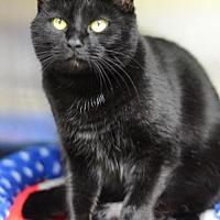 Domestic Shorthair Cat for adoption in Atlanta, Georgia - Lovisa170187