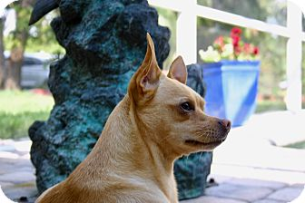 Shiba Inu/Chihuahua Mix Dog for adoption in Ft Myers Beach, Florida - Super Chihuahua!