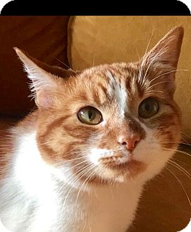Domestic Shorthair Cat for adoption in Santa Monica, California - Peaches