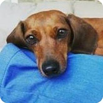 Dachshund Dog for adoption in Houston, Texas - Sugar Suzuki