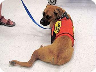 Boxer Dog for adoption in Cantonment, Florida - Boudreaux