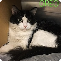 Domestic Mediumhair Cat for adoption in El Dorado Hills, California - Oreo