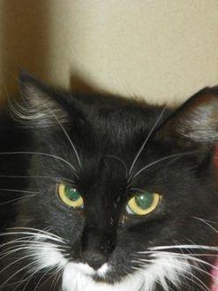 Domestic Mediumhair/Domestic Shorthair Mix Cat for adoption in Durango, Colorado - Bridget