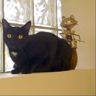Domestic Shorthair Cat for adoption in St. Louis, Missouri - Effie