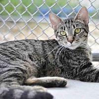 Domestic Mediumhair Cat for adoption in Tavares, Florida - JANET
