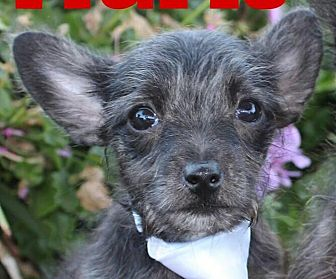 Poodle (Miniature)/Cairn Terrier Mix Puppy for adoption in Oakley, California - Baby Mario