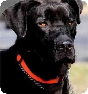 Labrador Retriever Dog for adoption in Pawling, New York - WINSTON
