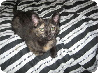 Domestic Shorthair Kitten for adoption in Jeffersonville, Indiana - Torie