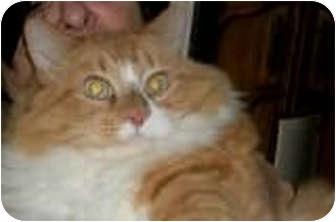 Domestic Shorthair Cat for adoption in Laguna Woods, California - Payton