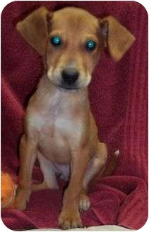 Treeing Walker Coonhound/Golden Retriever Mix Puppy for adoption in Londonderry, New Hampshire - Dansby Reduced