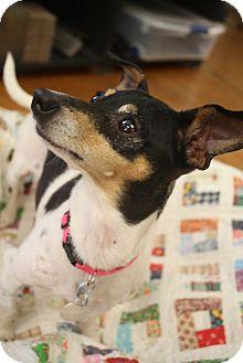 Fox Terrier (Smooth)/Chihuahua Mix Dog for adoption in Hamburg, Pennsylvania - Peanut
