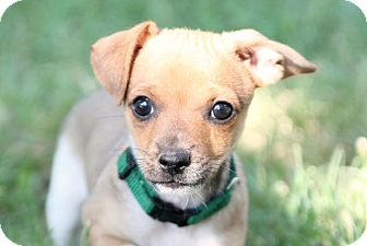 Dachshund/Chihuahua Mix Puppy for adoption in Austin, Texas - Ross