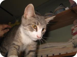 Domestic Shorthair Cat for adoption in Chambersburg, Pennsylvania - Cheshire