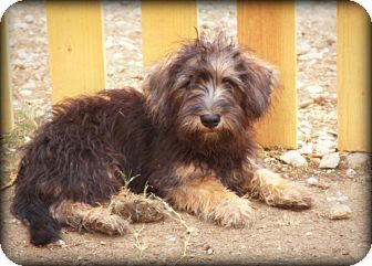 Schnauzer (Miniature)/Dachshund Mix Puppy for adoption in Weatherford, Texas - *SNICKERS*