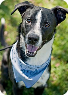 Border Collie Mix Dog for adoption in Portsmouth, Rhode Island - Thor-local!