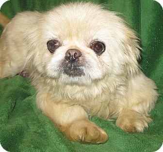 Pekingese Dog for adoption in Prole, Iowa - Kay