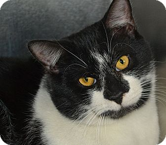 Domestic Shorthair Cat for adoption in Manahawkin, New Jersey - Clyde