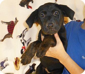 Rottweiler/Labrador Retriever Mix Puppy for adoption in Oviedo, Florida - Kim