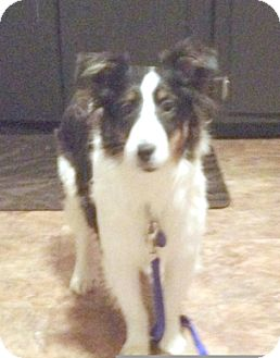 Sheltie, Shetland Sheepdog Puppy for adoption in Circle Pines, Minnesota - Lucy
