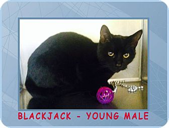 Domestic Shorthair Cat for adoption in Red Bluff, California - Blackjack